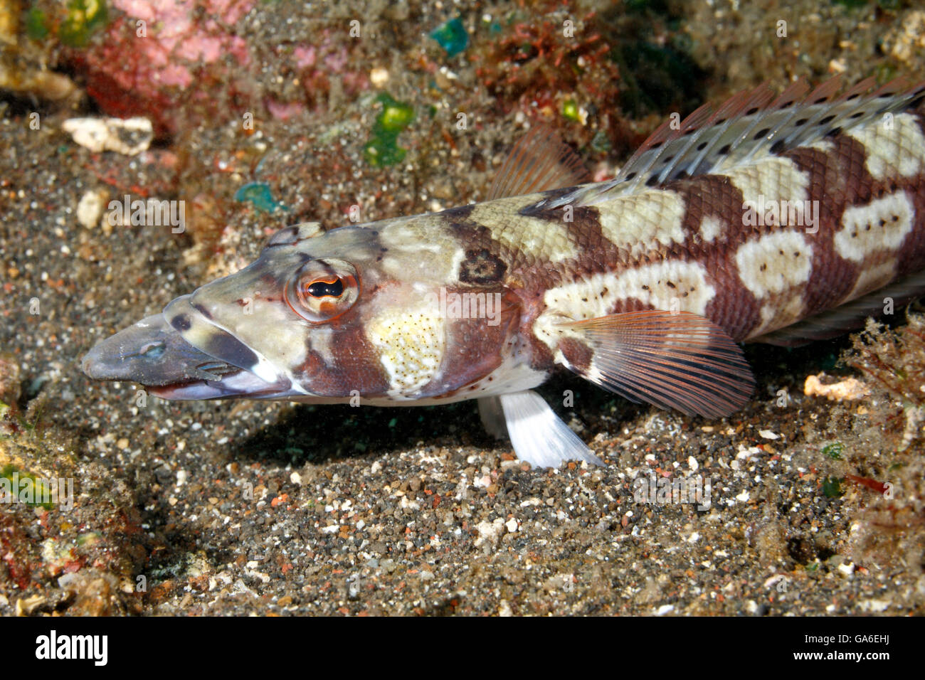 reticulated-sandperch-parapercis-tetraca