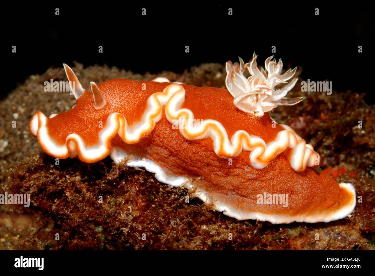 nudibranch-glossodoris-rufomarginata-com
