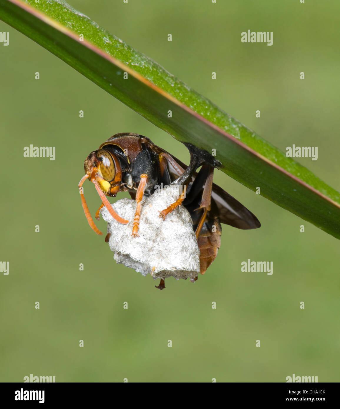 a-paper-nest-wasp-polistes-variabilis-st
