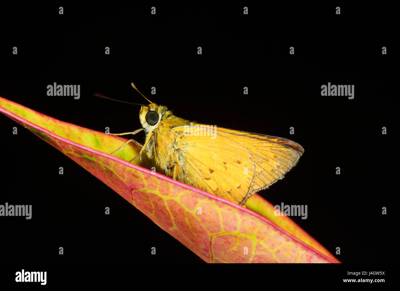 skipper-butterfly-hesperiidae-far-north-