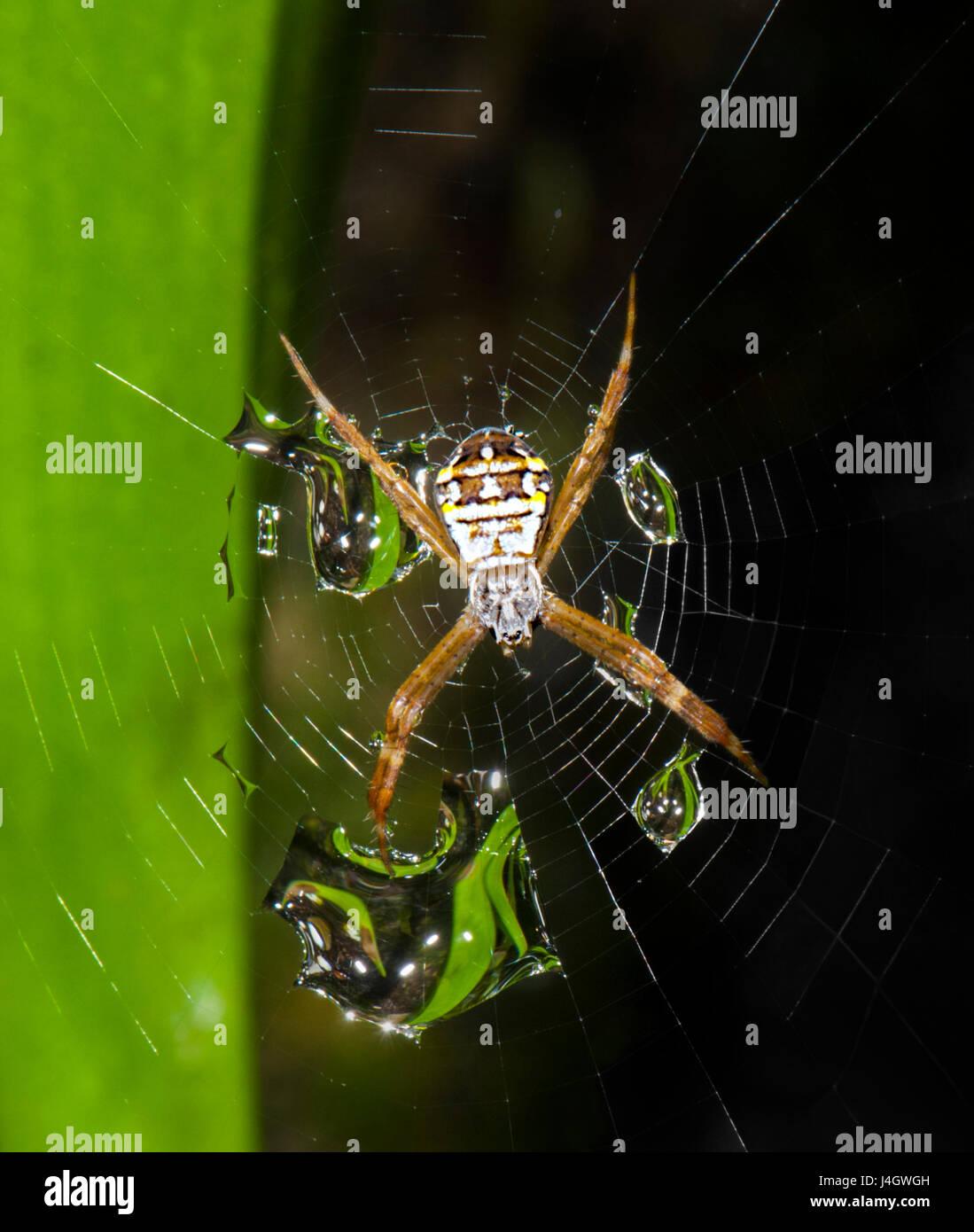 st-andrews-cross-spider-argiope-keyserli