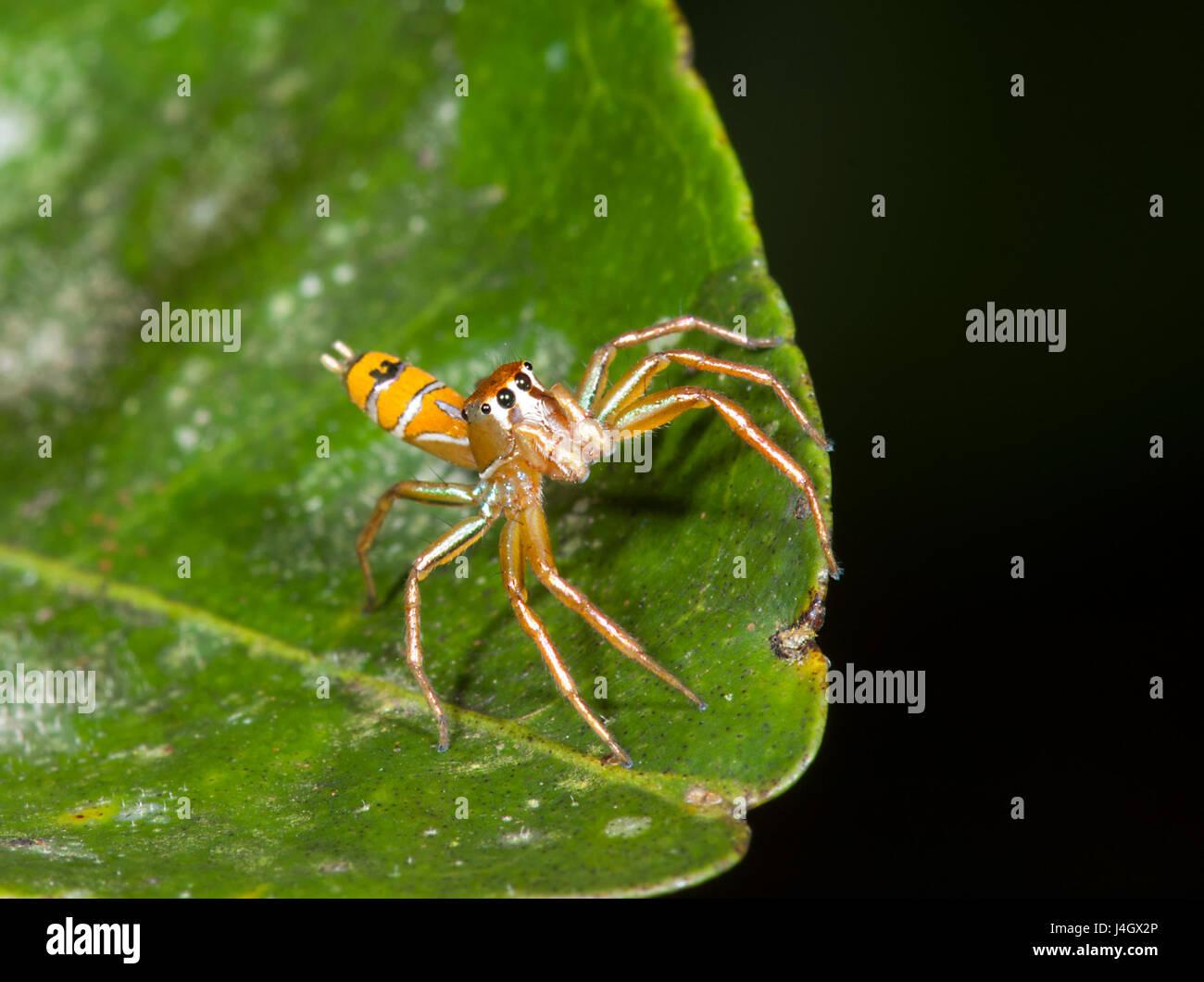 jumping-spider-cosmophasis-bitaeniata-sa