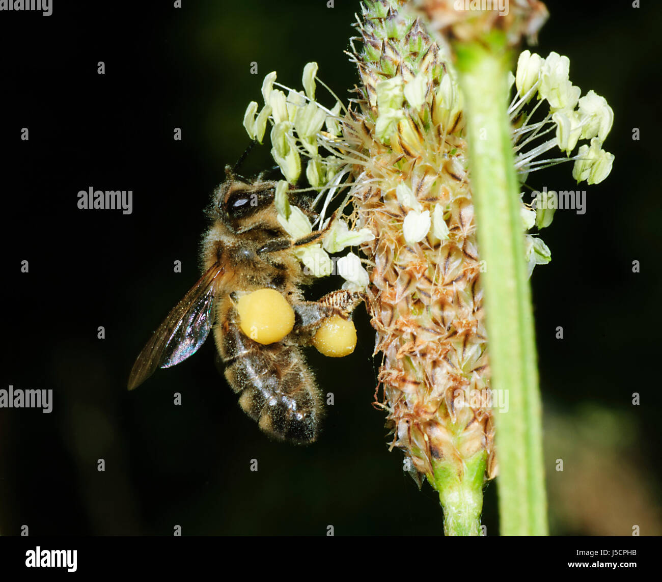 honey-bee-apis-mellifera-with-pollen-sac