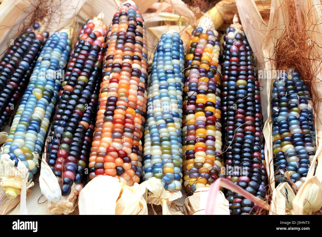 close-up-of-glass-gem-corn-J5HNT3.jpg
