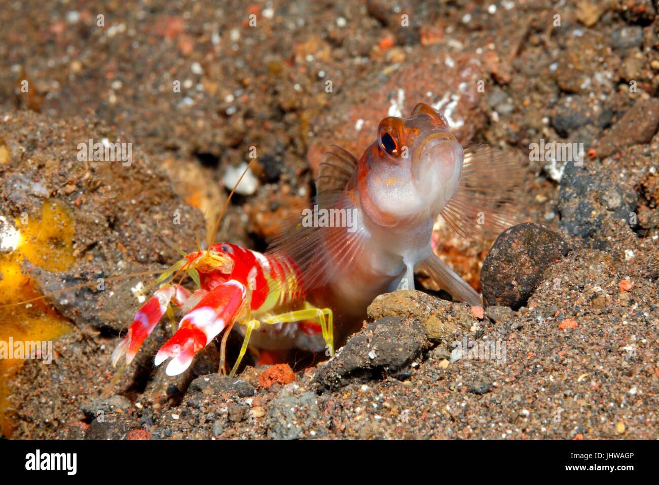 flagtail-shrimpgoby-amblyeleotris-yanoi-