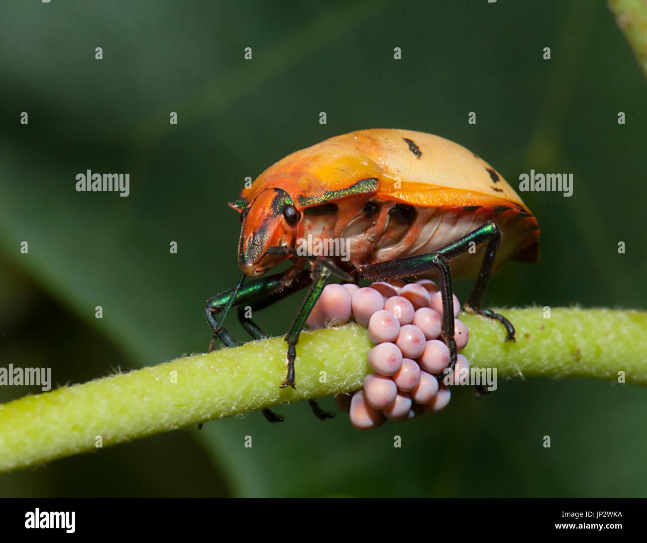 cotton-harlequin-bug-tectocoris-diophtal
