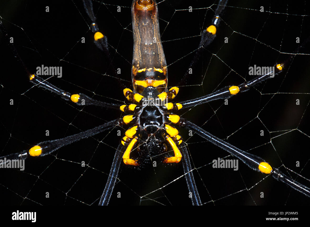 ventral-view-of-a-giant-golden-orb-weave