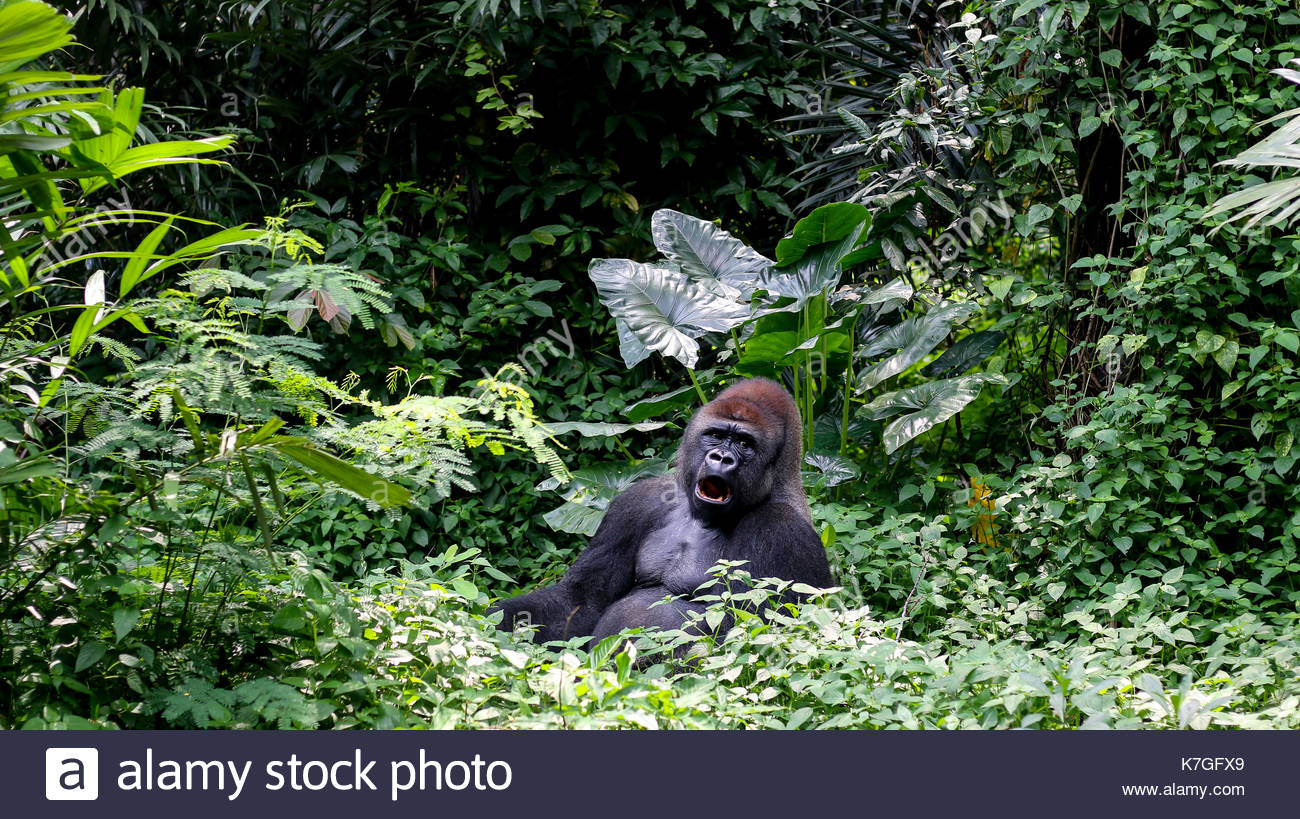big-one-gorilla-silverback-mountain-K7GF