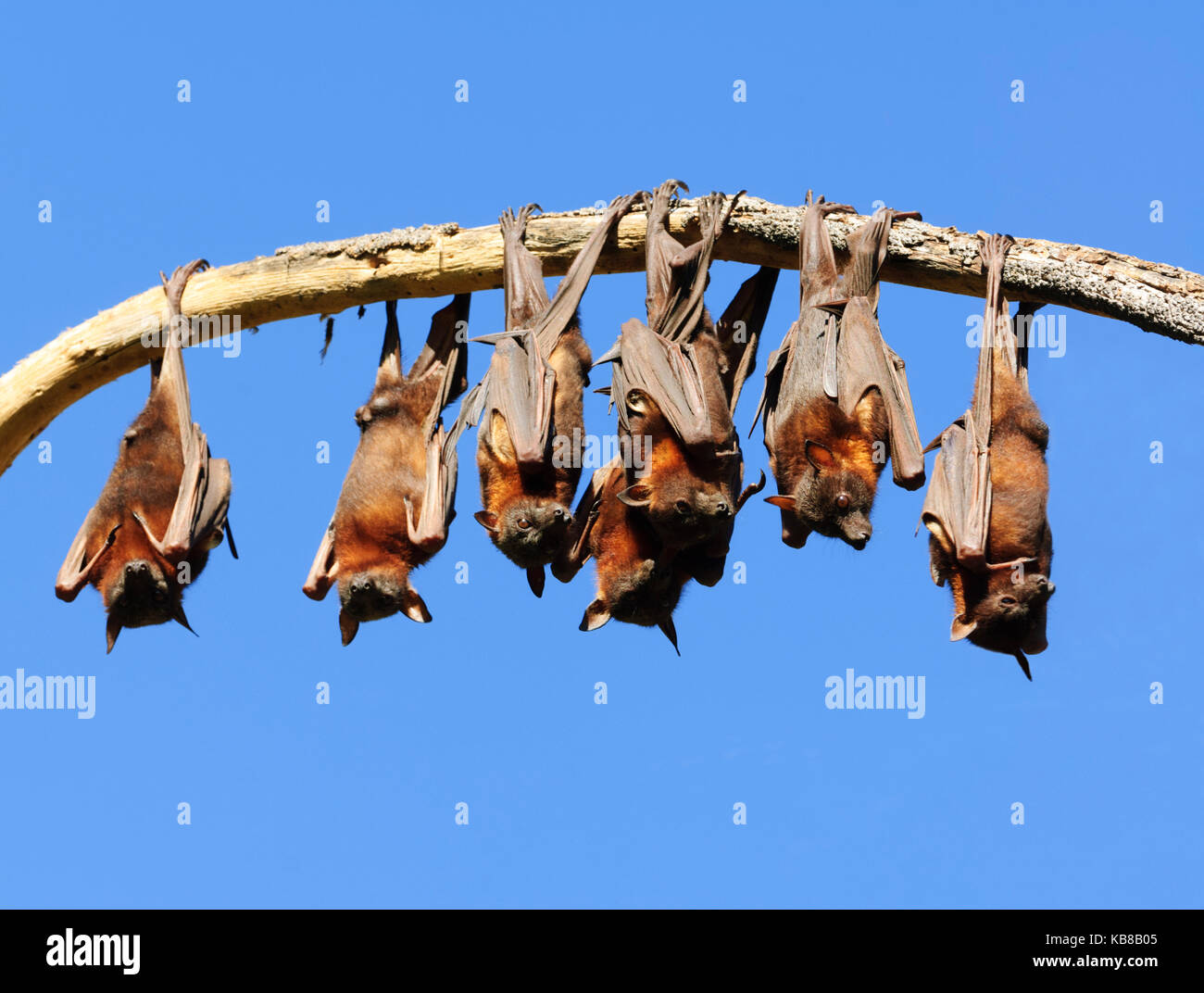 little-red-flying-foxes-pteropus-scapula