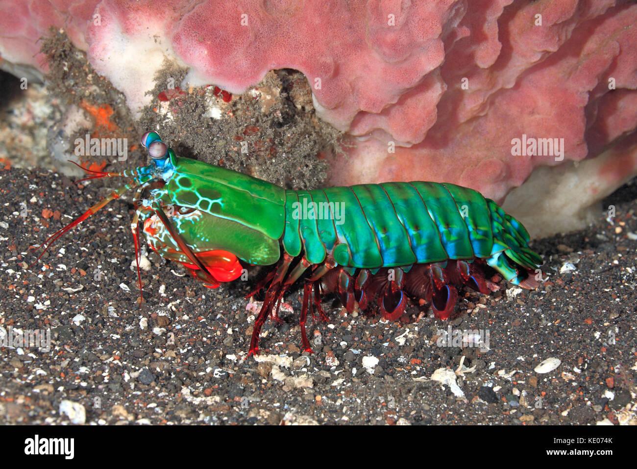 peacock-mantis-shrimp-odontodactylus-scy