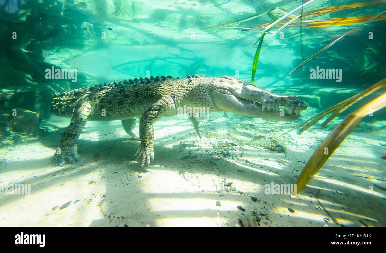 submerged-saltwater-crocodile-or-estuari