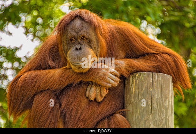 the-orangutans-are-the-two-exclusively-a