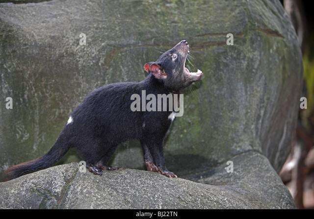 tasmanian-devil-sarcophilus-harrisii-yaw