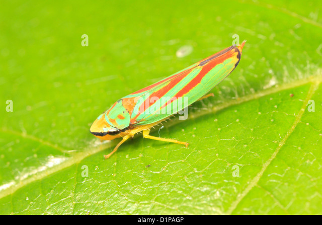 green-and-red-leafhopper-graphocephala-s