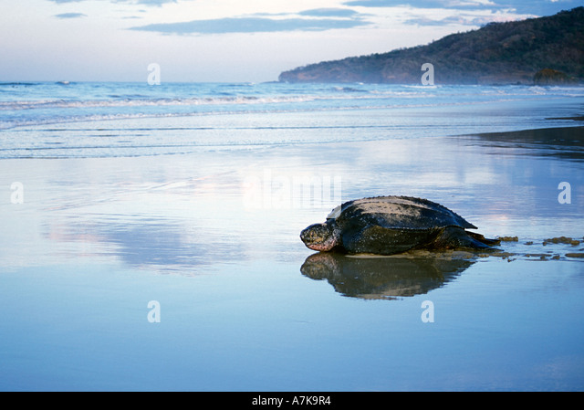 leatherback-turtle-heading-out-to-sea-at