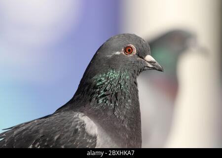 Feral Pigeon (Columba livia domestica) - Rock Dove - in empty Poole high street due to corona virus and lock-down - Stock Image