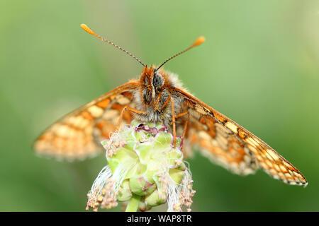 Marsh Fritillary Butterfly sat regally - Stock Image