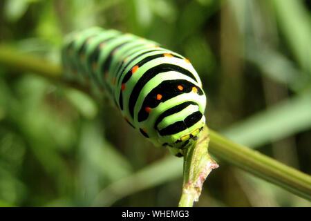 Swallowtail Butterfly Caterpillar (Papilio Machaon) - Stock Image
