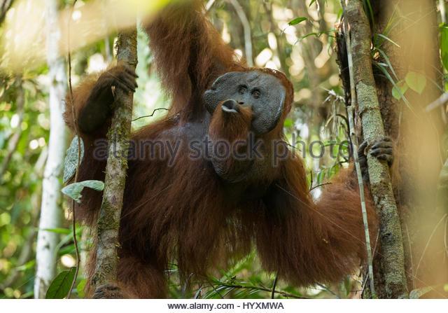 an-adult-flanged-male-bornean-orangutan-