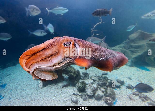 giant-cuttlefish-sepia-apama-merimbula-a