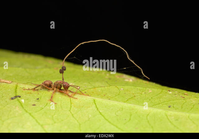 carpenter-ant-ants-of-the-genus-camponot