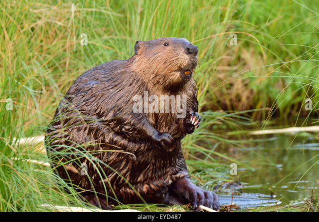 an-adult-beaver-castor-canadensis-out-of