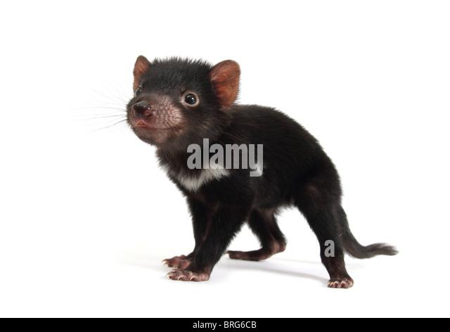 tasmanian-devil-juvenile-brg6cb.jpg