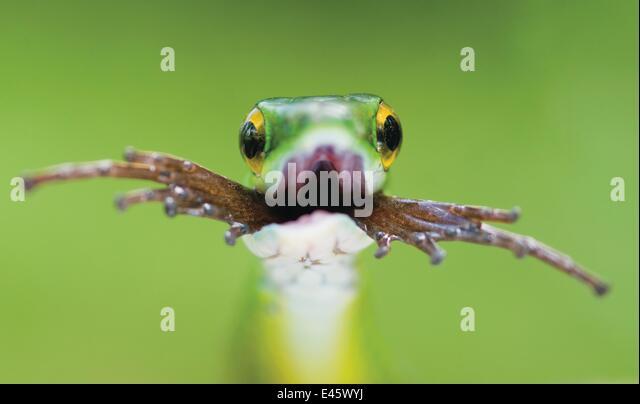 head-portrait-of-satiny-parrot-snake-lep
