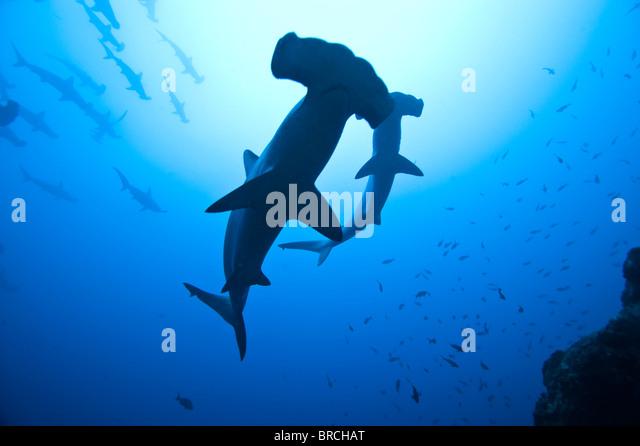 scalloped-hammerhead-sharks-sphyrna-lewi