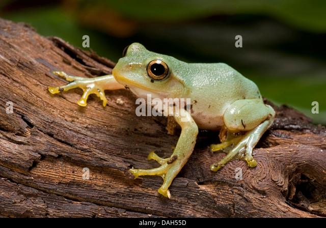 japanese-green-tree-frog-rhacophorus-arb