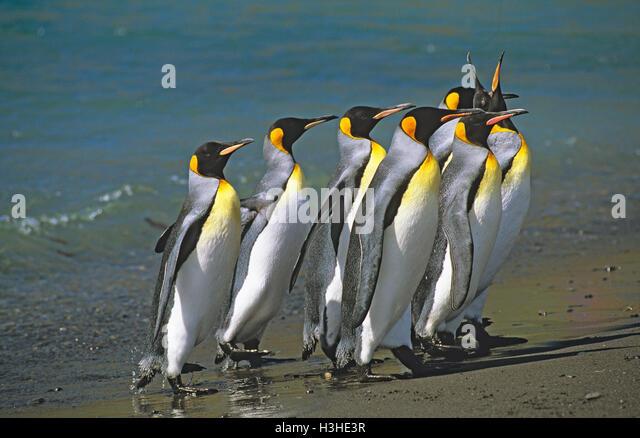 king-penguin-aptenodytes-patagonicus-h3h