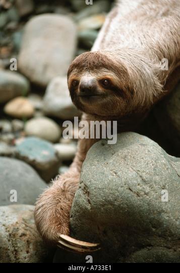 brown-throated-three-toed-sloth-bradypus