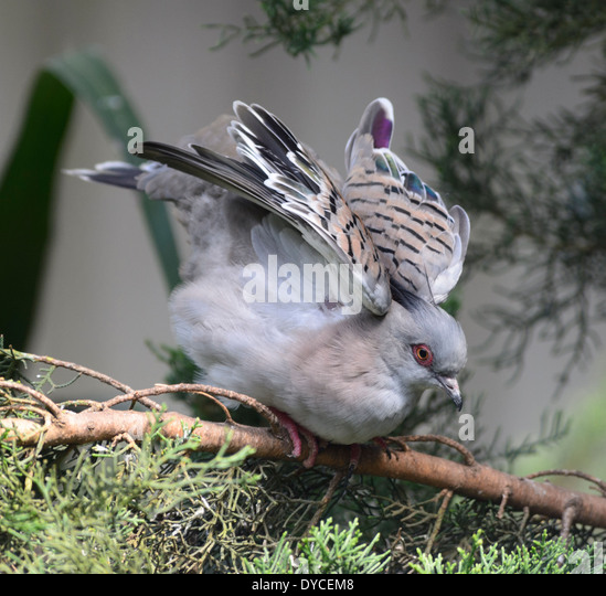 crested-pigeon-ocyphaps-lophotes-austral