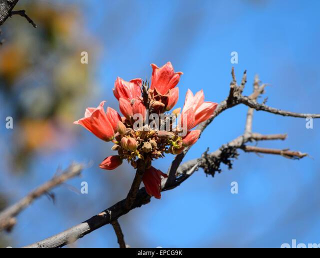 sticky-kurrajong-brachychiton-viscidulus