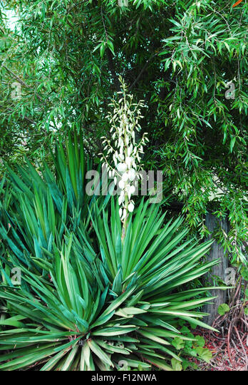 Yucca plant in flower - Stock Image