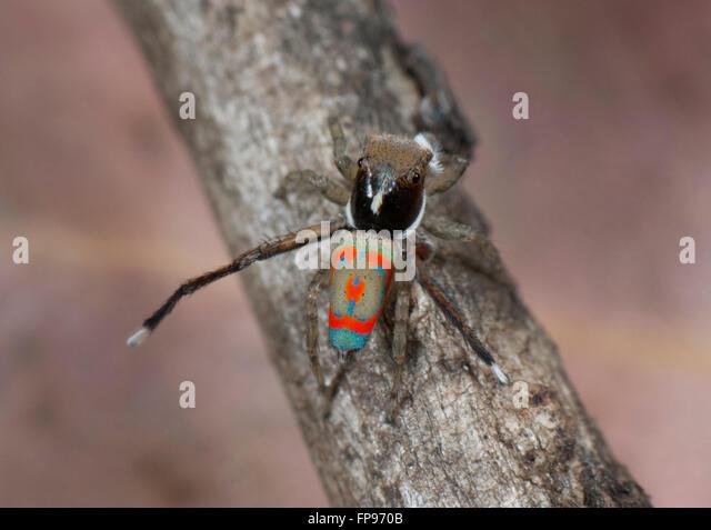 peacock-spider-maratus-pavonis-pemberton
