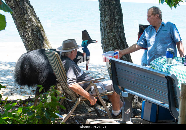 Tourist feeding a wild Southern or Double-wattled Cassowary (Casuarius casuarius) near the beach, Etty Bay, Cassowary Coast, Far North Queensland, FNQ - Stock Image