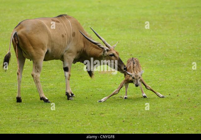 common-eland-southern-eland-taurotragus-