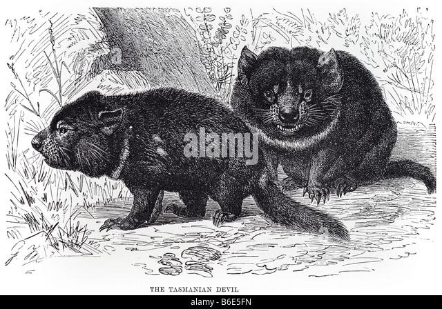 tasmanian-devil-sarcophilus-harrisii-is-