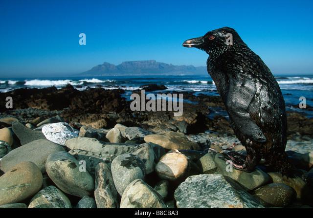 oiled-jackass-penguin-b8cba3.jpg