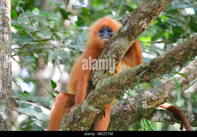 red-leaf-monkey-presbytis-rubicunda-danu