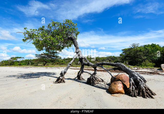 coastal-mangrove-tree-with-roots-growing