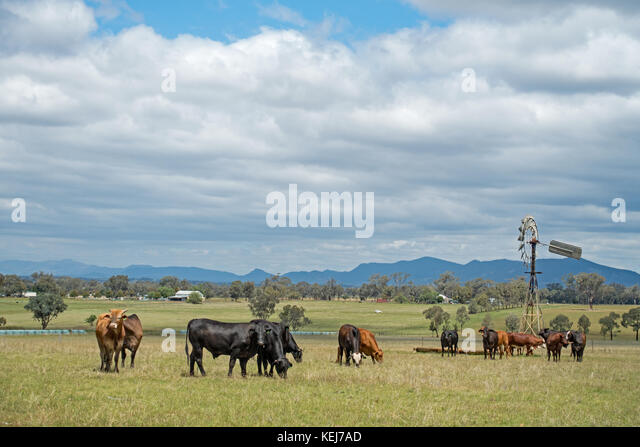 A herd of mixed breed beef steers grazing on a farm at Tamworth Australia. - Stock Image