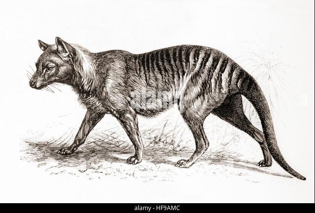 a-thylacinethylacinus-cynocephalus-aka-t